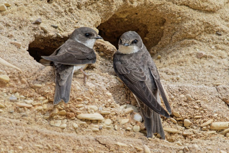 "Conservationists build giant ""sandcastle"" to support sand martins 