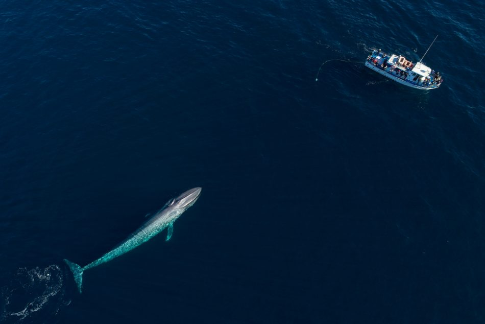 Blue whales gather in record numbers off San Francisco coast